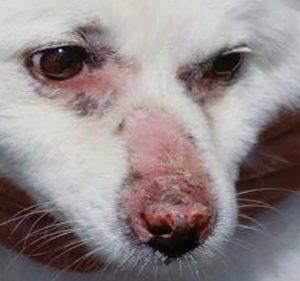 canine discoid lupus erythematosus pic