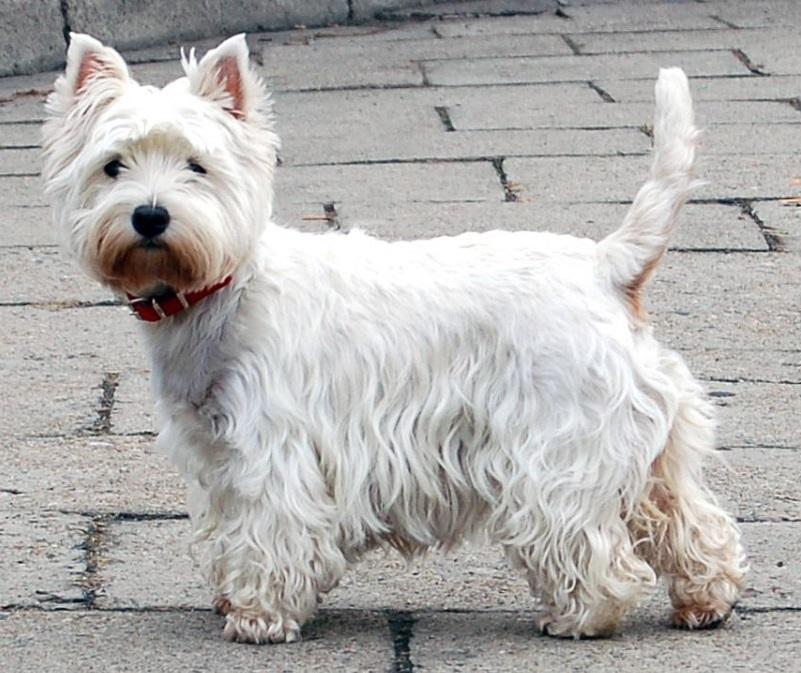 west highland terrier atopic dermatitis